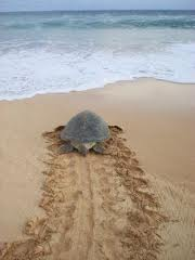 Exhausted sea turtle returning to sea after depositing eggs