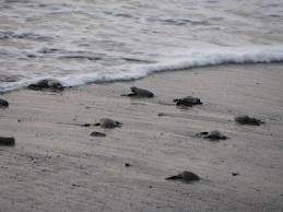 New Born Turtles making their way to the sea