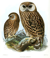 170px-Keulemans_Laughing_Owl[1]