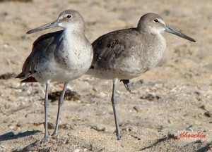 Willets (Winter Plumage)