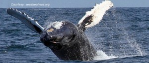 Humpback Breach Seashepherd.orgbmp